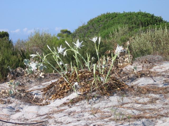 oasi di Bidderosa: gigli selvatici