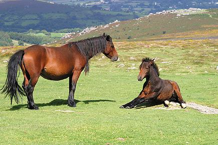 Dartmoor ponies on Dartmoor