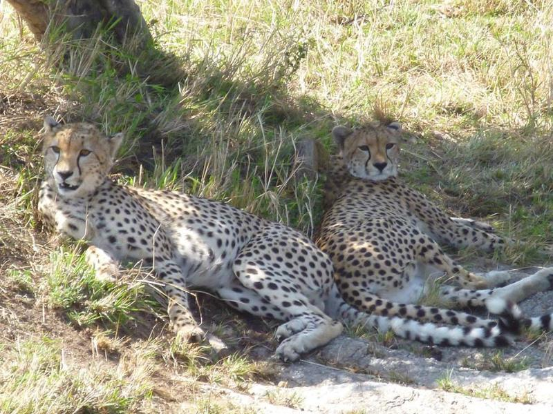 Cheetahs the Tzavo National Park