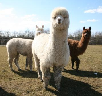 'What are you looking at? Never seen an alpaca before?'