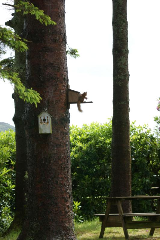 red squirrel feeding on tree 20 yards away!