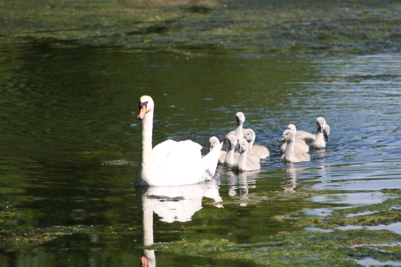 Swan with cygnets on canal