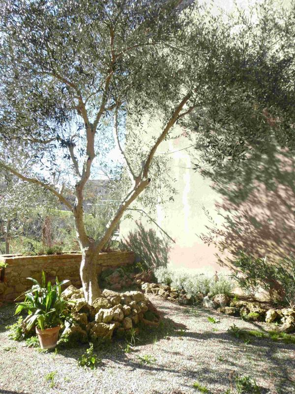 olive tree in secluded garden