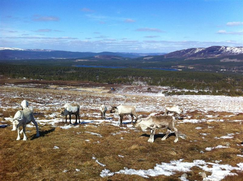 Learn about and feed the Cairngorm Reindeer Herd.