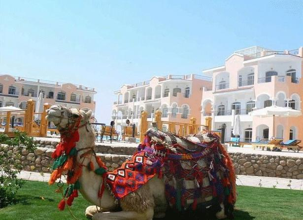A Camel Relaxing on the Resort, why not take a camel ride, ask the price first though.