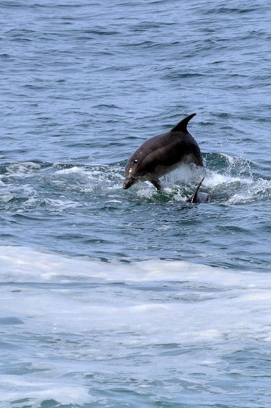 Dauphins au large de St. Ives.