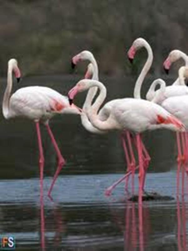The beautiful pink flamingos at Poetto