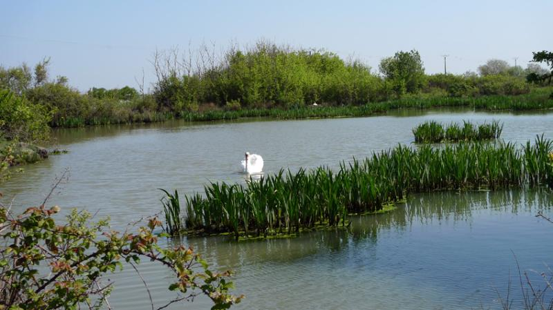 Swans on the Marshlands