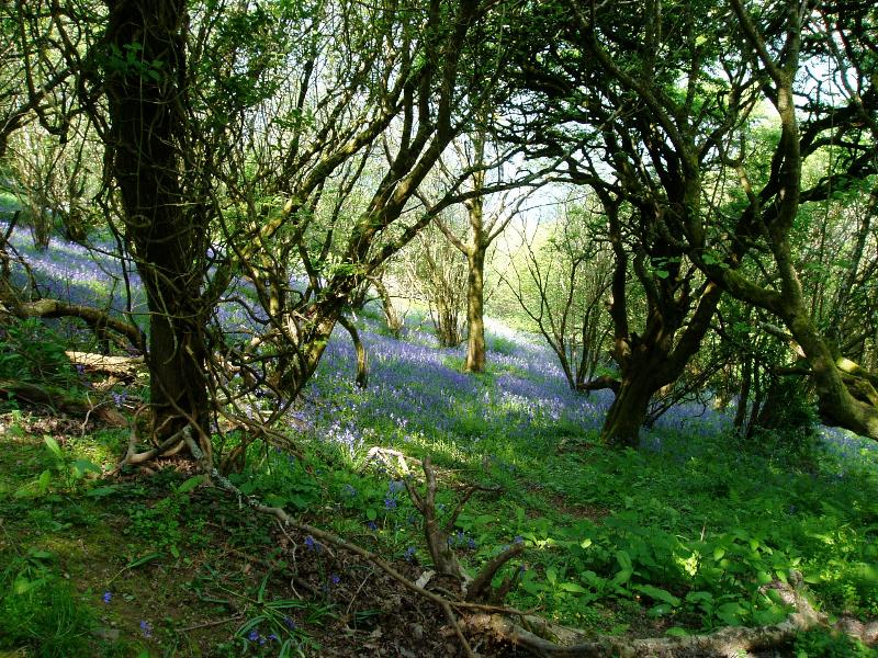 Rowse's bluebell wood in spring
