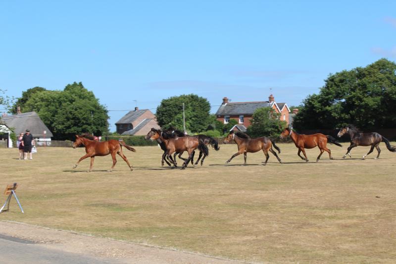 Nieuw Forest pony's galop over Hatchet Green, Hale