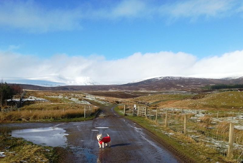 Mollie the Westie up Strone, part of the Wildcat Trail right round Newtonmore.