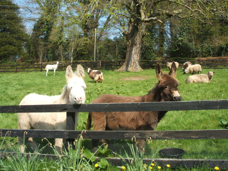 Shrek and Bertie our pet donkeys, looking for attention and maybe some food from our visitors