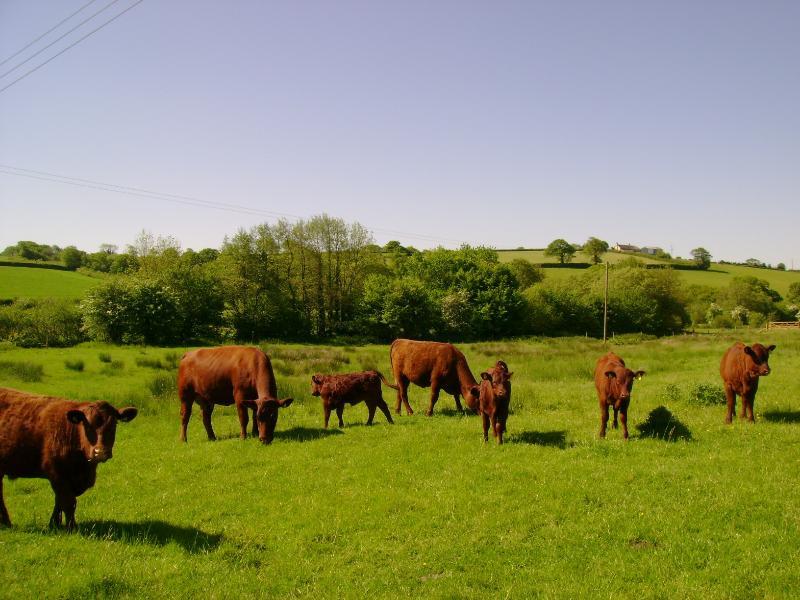 Pedigree Devon cows & calves