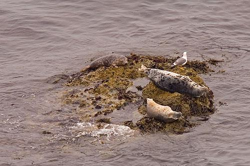 Seals at Skomer Island