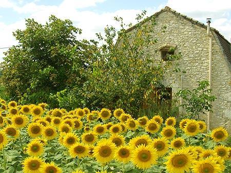 Romarin with sunflowers