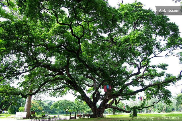 Old raintree at the nearby Gymkhana Sports and Golf club.