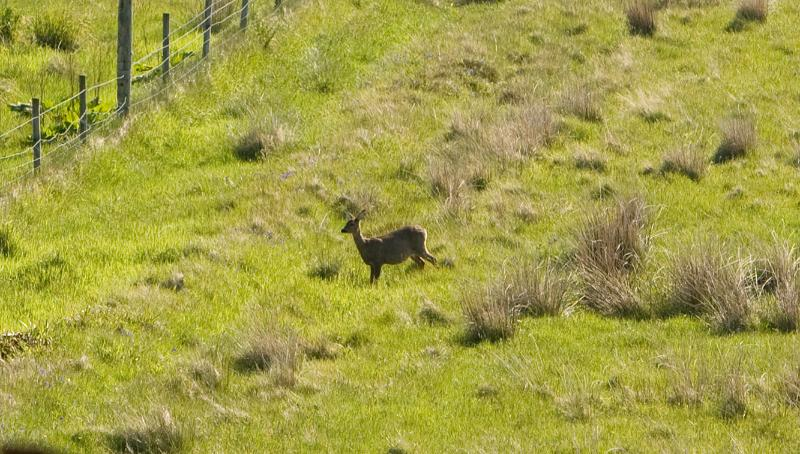 Deer on the croft in front of the cottage