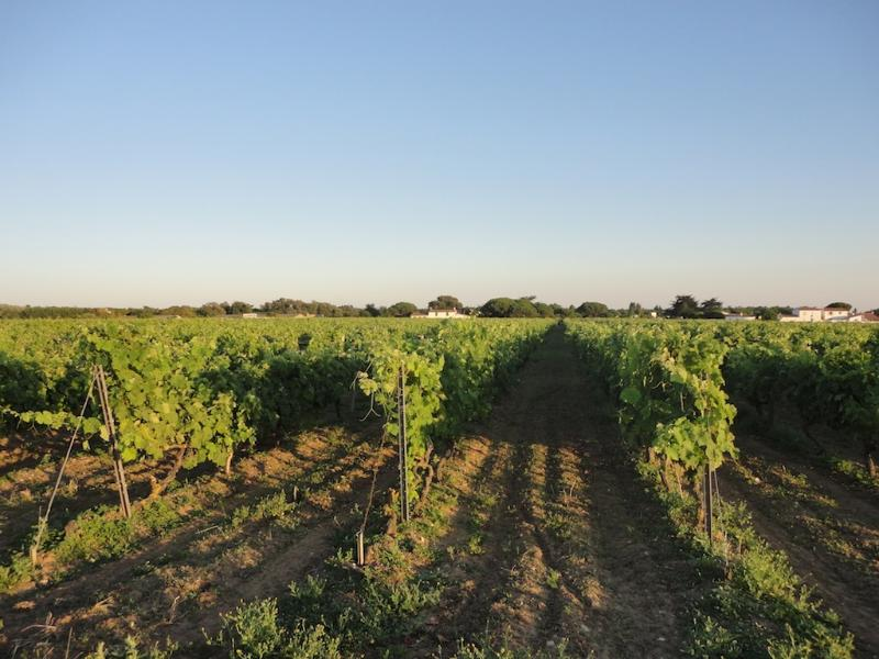 One of the many vineyards on the island