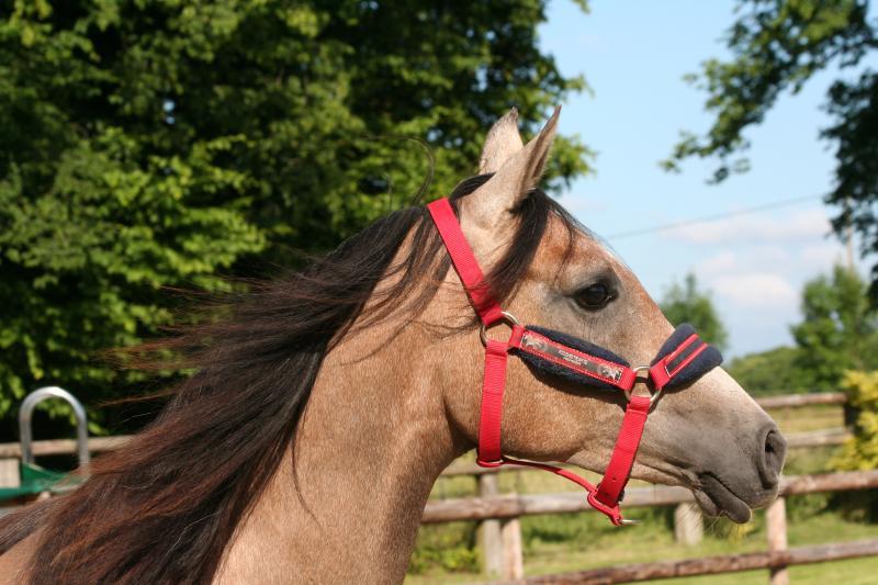 Bella 'ar Arabian filly