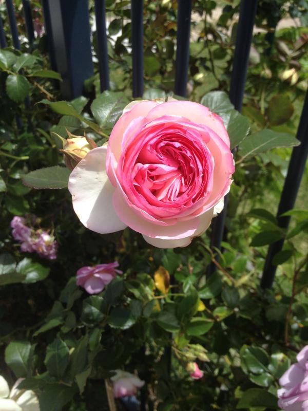 Rosetta Rose