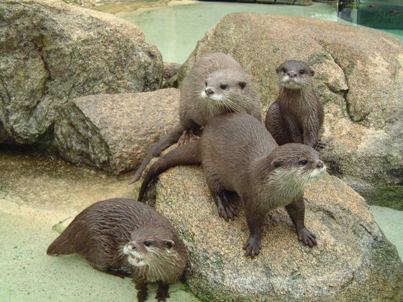 Conservation Zoo de doué. Loutres.