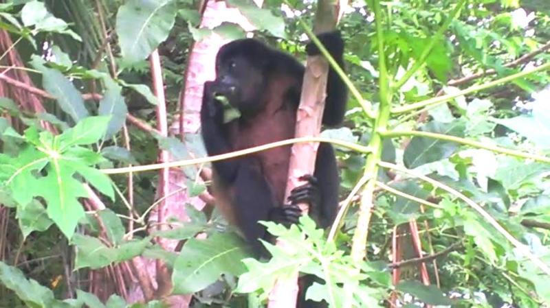 Mono aullador al lado de casa