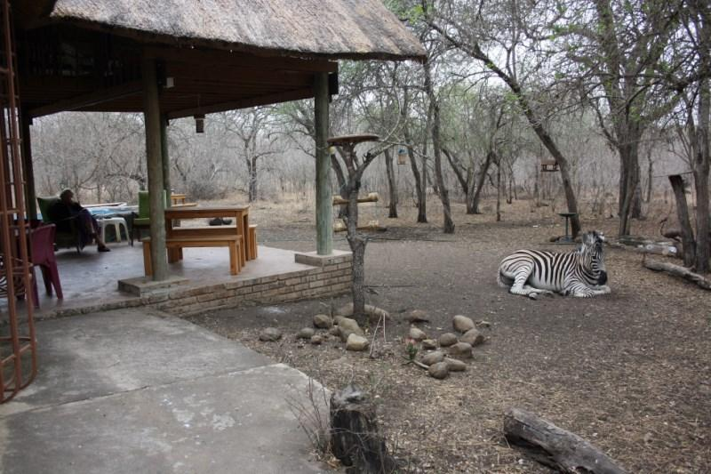 zebra patio