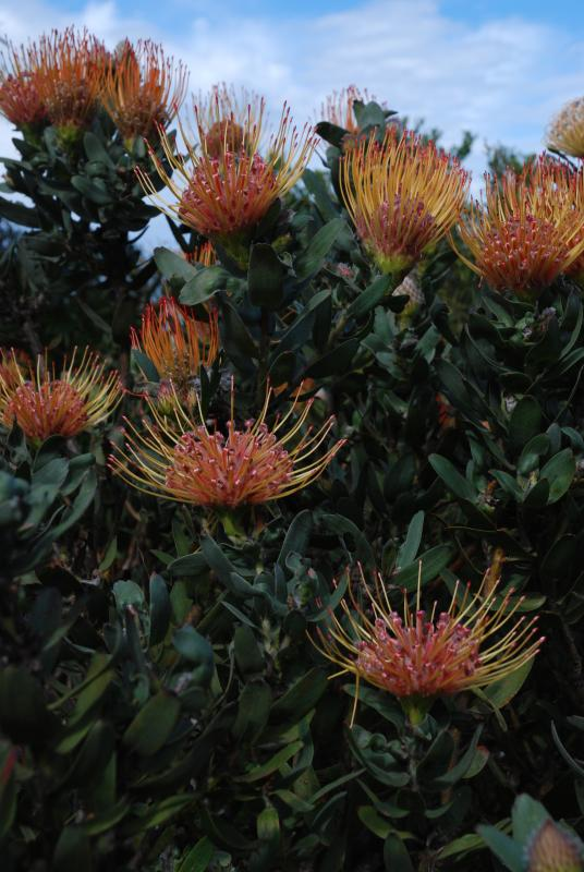 Proteas growing on the reserve. Unique to fynbos vegetation opf the Western Cape