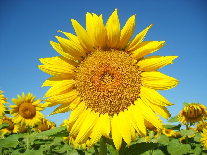 We are surrounded by swathes of beautiful sunflowers