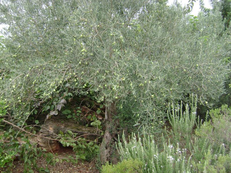Jardin d'oliviers