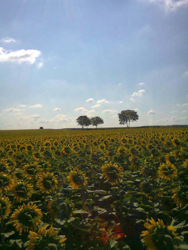 Sunflowers at La Roche