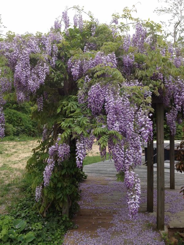 Wisteria Welcomes You