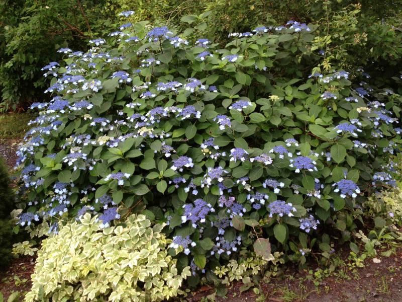 Jardín de hortensias
