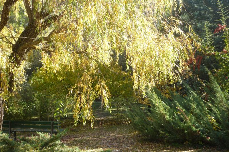 Weeping willow in sunshine