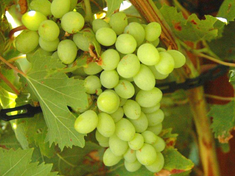 Grapes on the garden vines