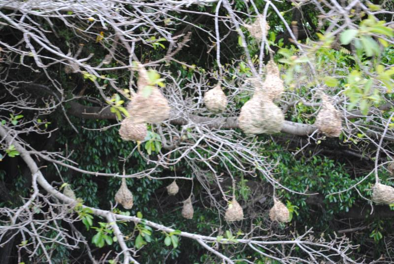 The Weaver Birds are building their nests