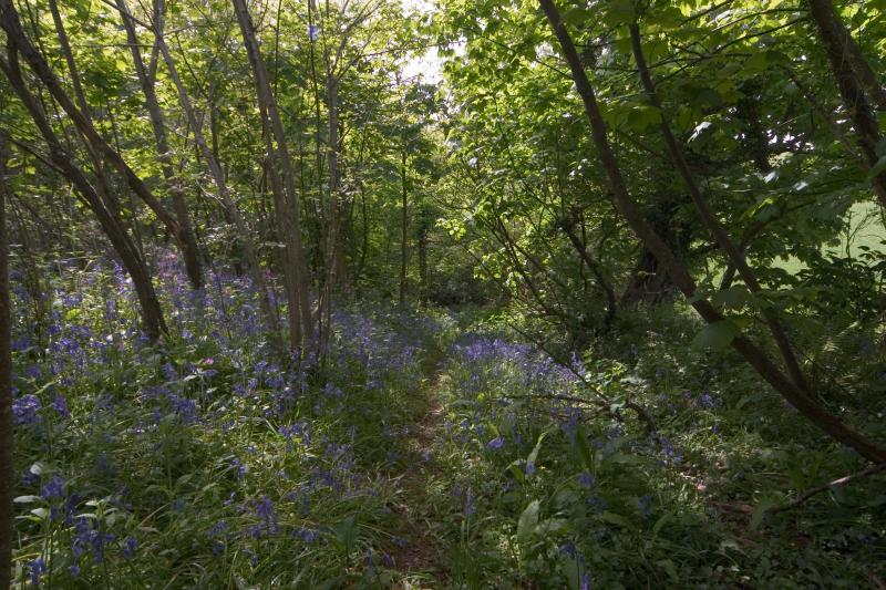 Bluebells at the Farm