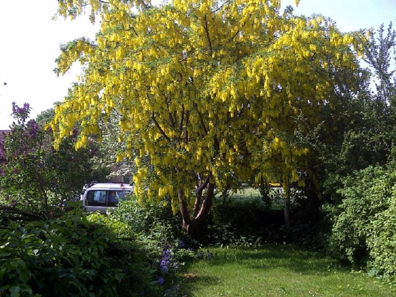 El Laburnum en floración