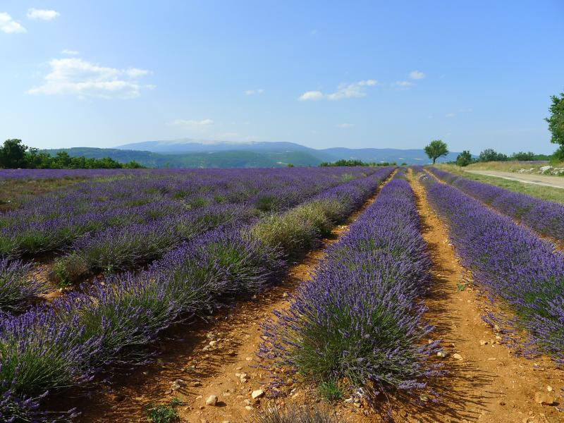 Lavender fields alive with bees only 40 minutes drive away