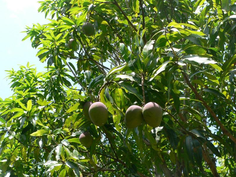 Waiting for the Villa's Mango to ripen