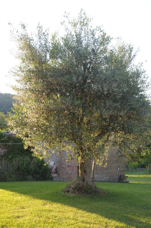 O proprietário produz um óleo de oliva extra virgem orgânico