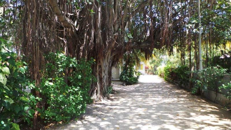 The villa is set in a tropical garden just behind this huge banyan tree