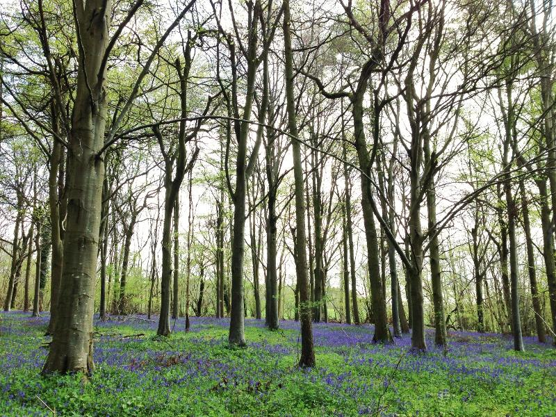 Bluebells in Fifehead Wood, 5 minutes from the front door