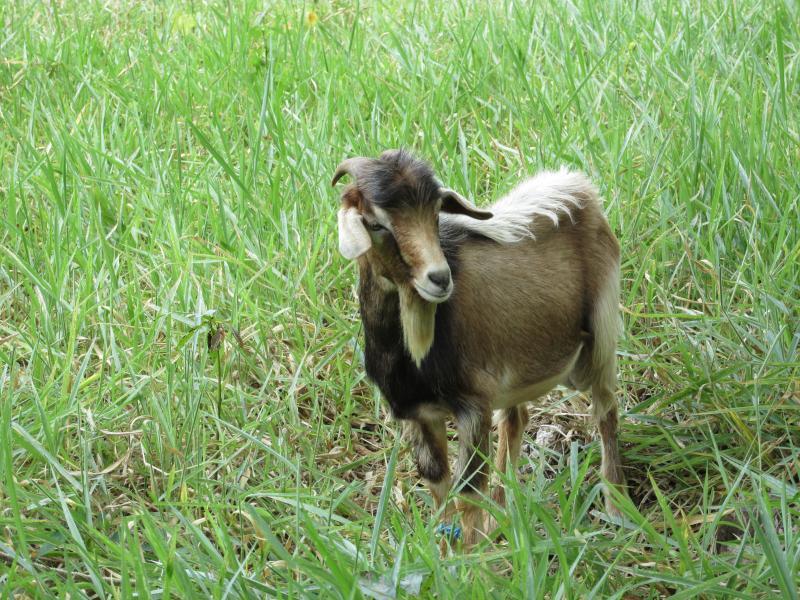 Hay un montón de cabras en Westmoreland.