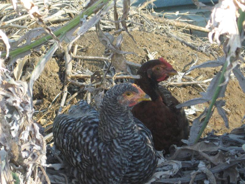 Chat with our cheeky chickens...