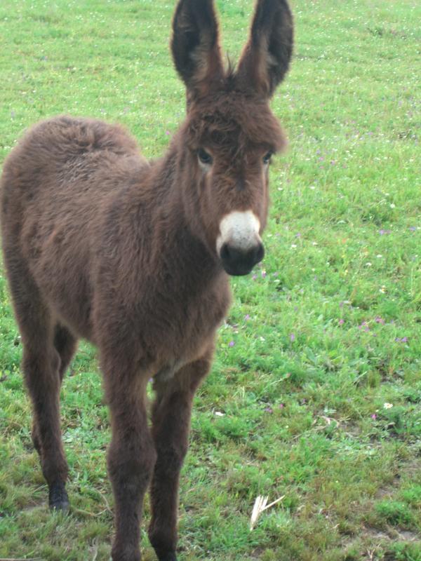Donkey Malmequer