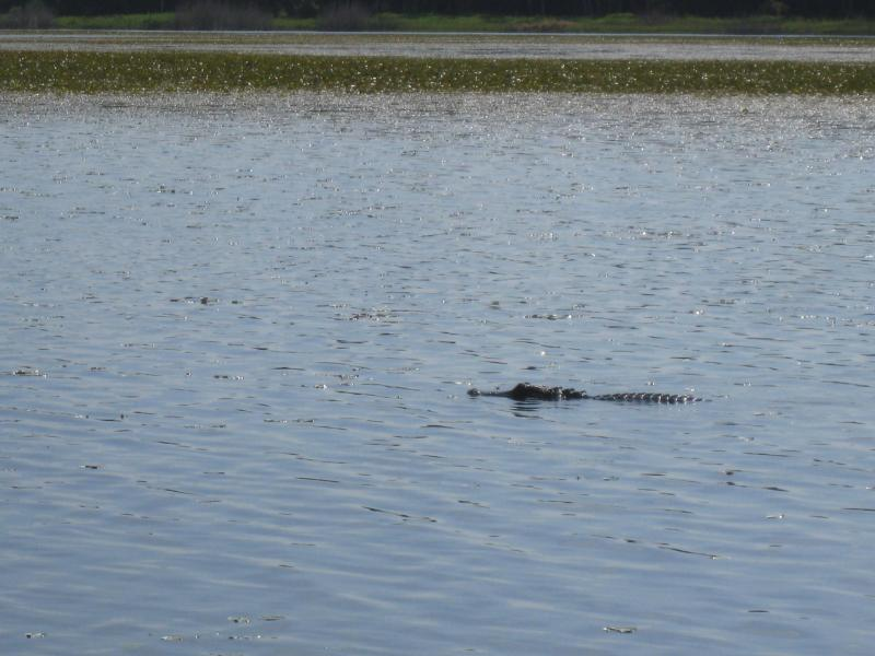 Alligator sighting on airboat ride