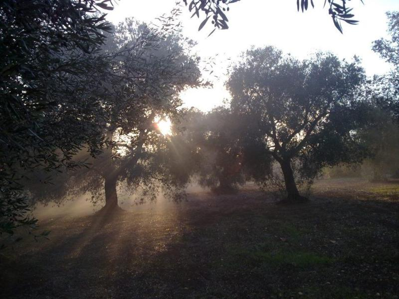The Olive Grove of Trullo Primpo
