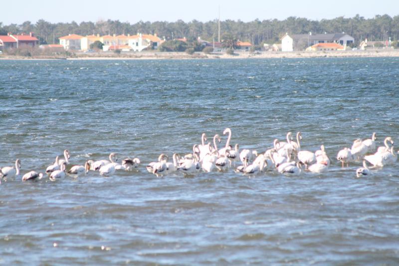 Flamingos en la Ria de Aveiro