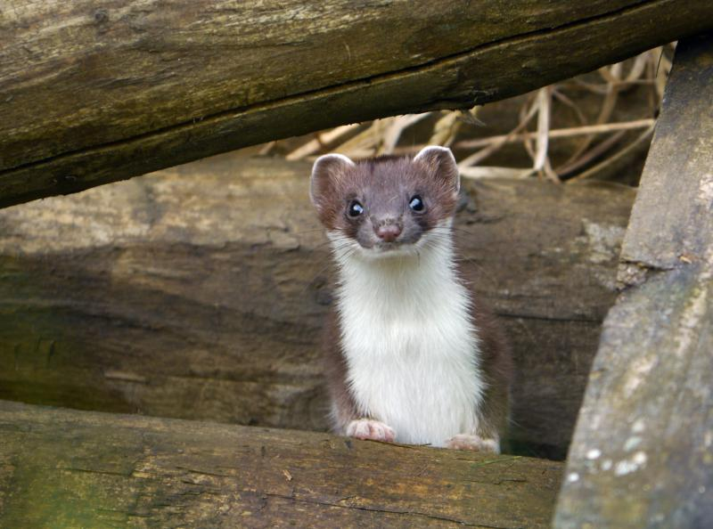 Stoat at the cottages